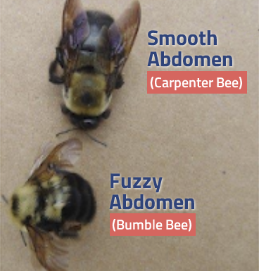 Image of the smooth abdomen of a carpenter bee compared to the fuzzy abdomen of the bumble bee.