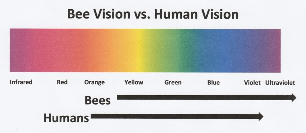 Color Chart of colors viewable by bees vs humans.